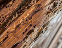 Old Wooden Beam Affected By Woodworm. Wood-eating Larvae Of Species Of Beetle