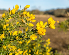 Gorse Flowers.