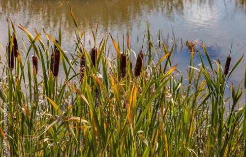 Fotografie, Obraz  bulrush cattails in a marsh