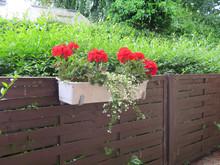 Red Geraniums In White Flower Box