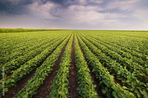 Fotografía Agricultural soy plantation on sunny day - Green growing soybeans plant