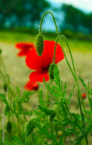 Foto op Plexiglas Groene Beautiful poppy flowers on the meadow, mountain nature, summertime. Photo depicts red poppies, colorful meadow flowers, growing in the green grass. Close up, macro view.