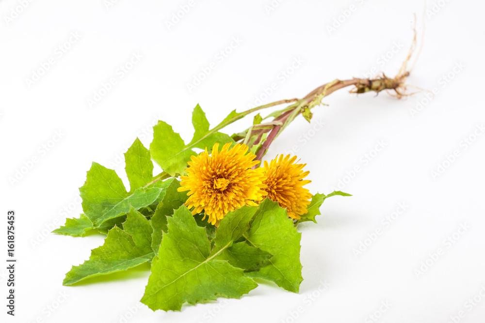Fototapety, obrazy: Common dandelion (Taraxacum officinale) on white background