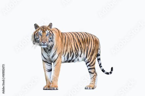 Valokuvatapetti bengal tiger isolated