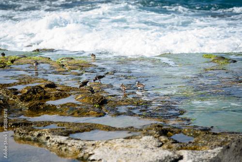 Fotografia, Obraz  cute birds Little Stint on nature background