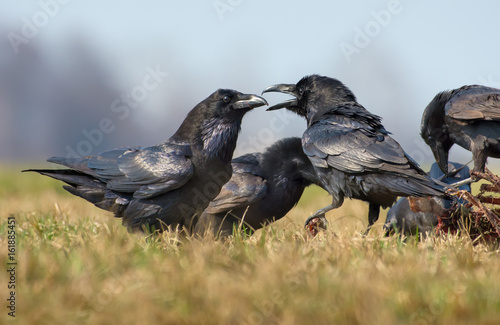 Fotografie, Tablou  Common ravens interactions – hard quarrel between two birds for carrion