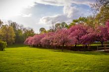 Cherry Blossom At Hurd Park