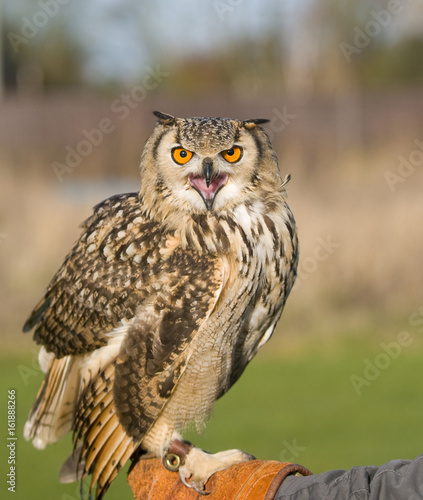 Indian Eagle owl (Bubo bubo) sitting on Falconers gauntlet Fototapete