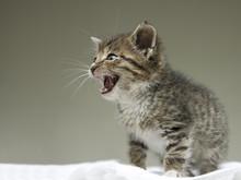 Little Tabby Kitten Meowing On...