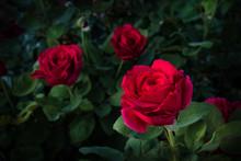 Tres Rosas
