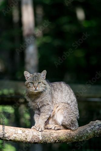 Fotografie, Obraz  Un chat forestier assis sur une branche. Felis sylvestris.