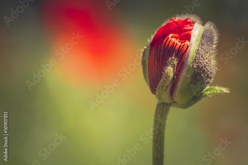 Red orange poppies growing in meadow - 161907813
