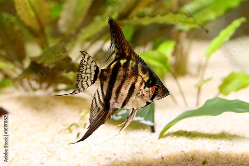 Tiger Marble angelfish pterophyllum scalare aquarium fish Canvas Print