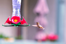 Hummingbirds Flying Around The Feeder For The Birds. North America, Canada