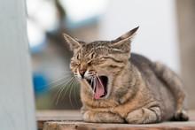 大きくあくびをする猫