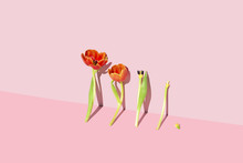 Minimal Lily Flowers Against A Pink Background, Studio Shot