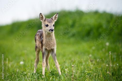 Young wild roe deer in grass, Capreolus capreolus Wallpaper Mural