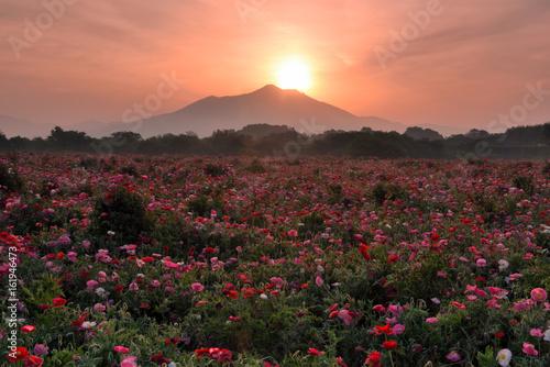 Fototapety, obrazy: 早朝のポピー畑とダイヤモンド筑波