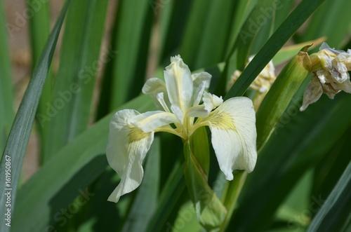 Iris pseudacorus f. alba
