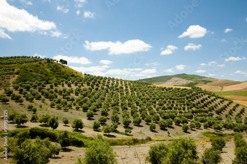 Stampa su Tela Olive Groves - Malaga - Spain