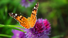 Close View Of A Painted Lady Butterfly Flapping Wings On A Magenta Chives Flower
