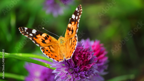 La pose en embrasure Papillon Close view of a painted lady butterfly flapping wings on a magenta chives flower