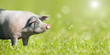 Leinwanddruck Bild - Zufriedenes Schwein auf grüner Wiese mit Platz für Text