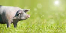 Zufriedenes Schwein Auf Grüner Wiese Mit Platz Für Text