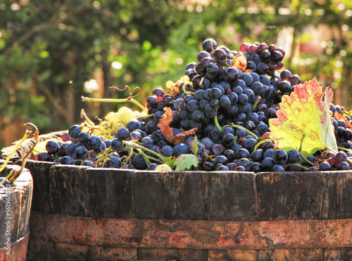 Fotografía  Harvesting grapes