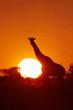 The South African giraffe or Cape giraffe (Giraffa giraffa giraffa) at sunset