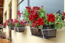 Petunias Flourished, Montenegro