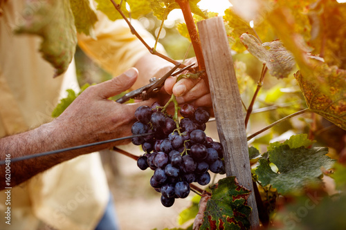 Red wine grapes on vine in vineyard.