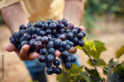 Farmers hands with blue grapes.