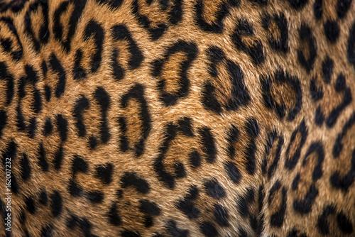 Poster Leopard Jaguar fur