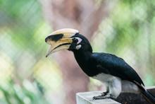 Oriental Pied Hornbill In Cage