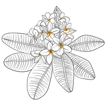 Illustration With Plumeria Flo...