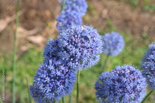 Photo Цветущий лук голубой Allium caeruleum