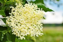 Closeup Of Cream-colored Elderflower