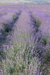 Naklejka Blooming Lavender Field