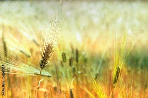 Valokuvatapetti Spiga di grano