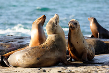 A Group Of Wild  Seals Playing At La Jolla Cove On A Sunny Late After Noon, San Diego, California, USA.