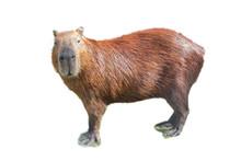 Capybara (hydrochoerus Hydroch...