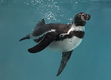 Diving Humboldt Penguin