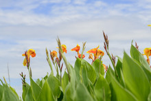Close Up A Beautiful Orange Yellow Canna Lily Flower Again Cloudy Sky