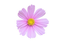 Single Pink Cosmos Bipinnatus Flower Isolated On A White Background