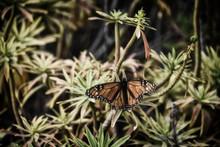 Monarch Butterfly On Green Veg...