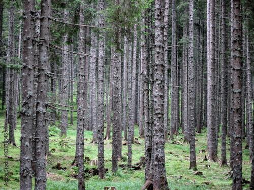 Printed kitchen splashbacks Birch Grove Spruce forest