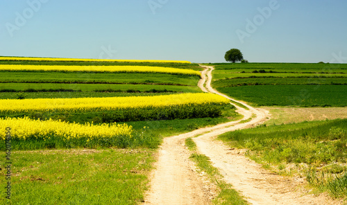 Poster Jaune Landscape with rape flowers and blue sky
