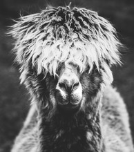 A Portrait Of A Hairy Alpaca In Black And White