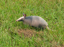 Nine-banded Armadillo (Dasypus Novemcinctus)  On A Green Grassy Field. Texas, United States